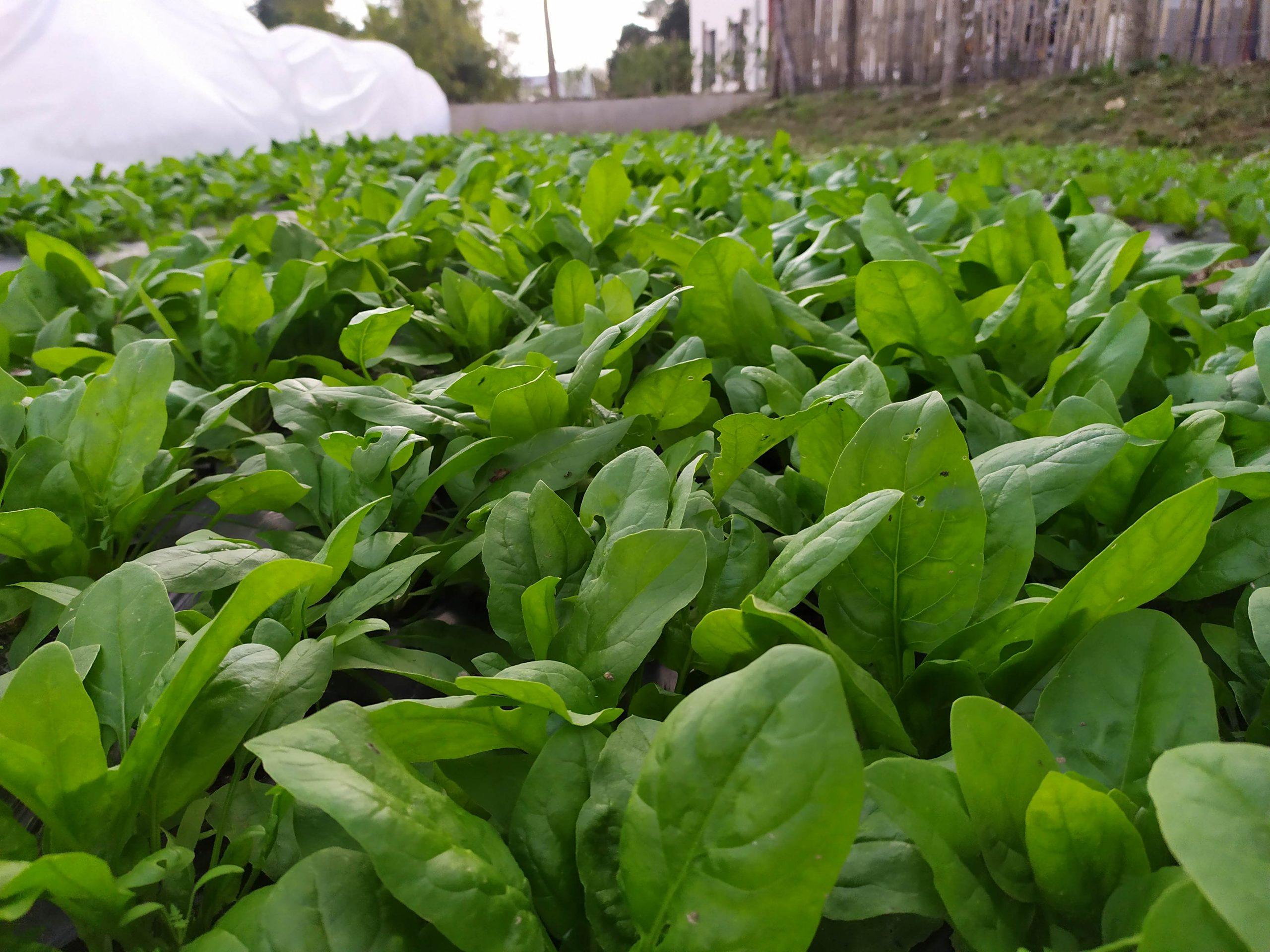La ferme urbaine des Jardins Perchés vend ses premiers épinards !